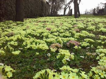 My friend Xenia Bakran-Sunic, a contemporary poet, took this picture. The Primroses bloomed gorgeously this Spring in Croatia.